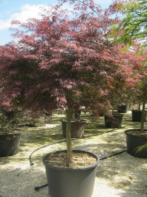 japanese maples acer palmatum dissectum inaba shidare. Black Bedroom Furniture Sets. Home Design Ideas