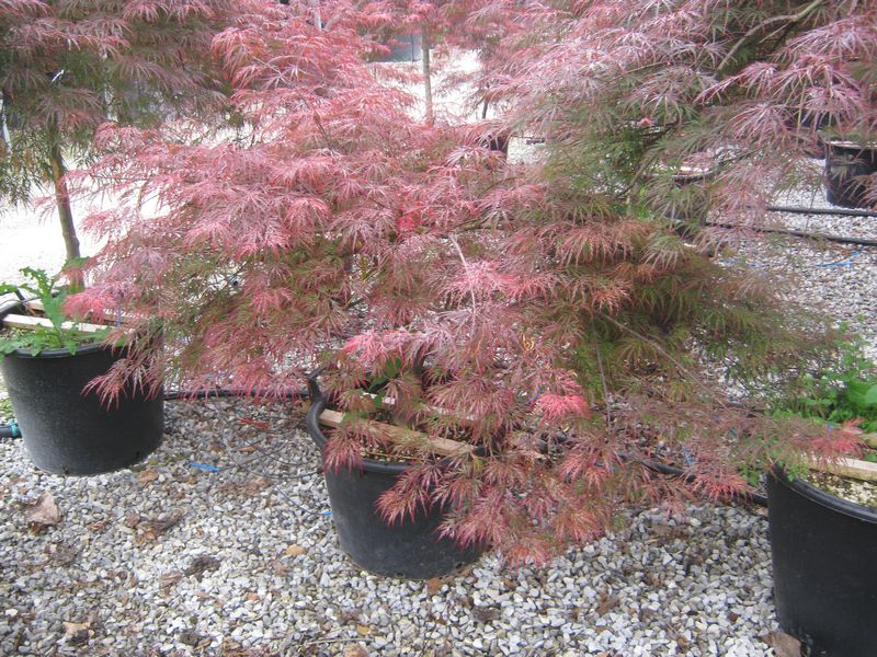 japanese maples acer palmatum dissectum garnet. Black Bedroom Furniture Sets. Home Design Ideas