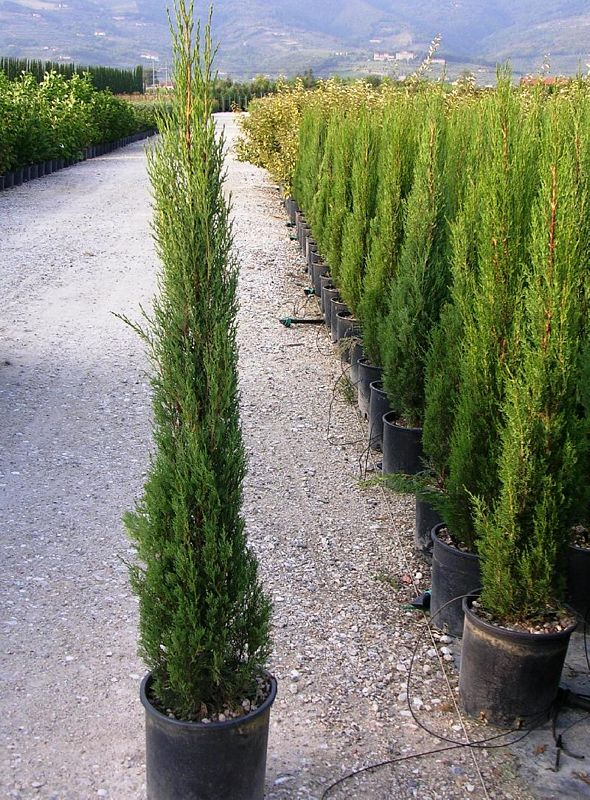 hedge plants cupressus sempervirens pyramidalis c s stricta. Black Bedroom Furniture Sets. Home Design Ideas