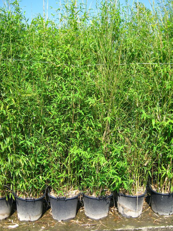 plantes feuillage persistant bambusa phyllostachys bissetii. Black Bedroom Furniture Sets. Home Design Ideas