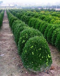 hedge plants buxus sempervirens suffruticosa b pumila. Black Bedroom Furniture Sets. Home Design Ideas