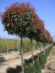 b ume photinia x fraseri red robin spalier auf hochstamm. Black Bedroom Furniture Sets. Home Design Ideas