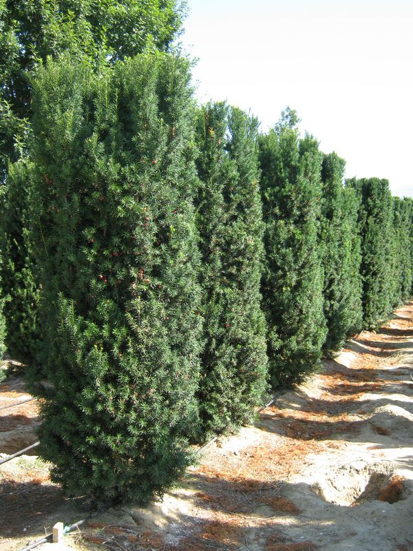 hedge plants taxus x media hicksii. Black Bedroom Furniture Sets. Home Design Ideas