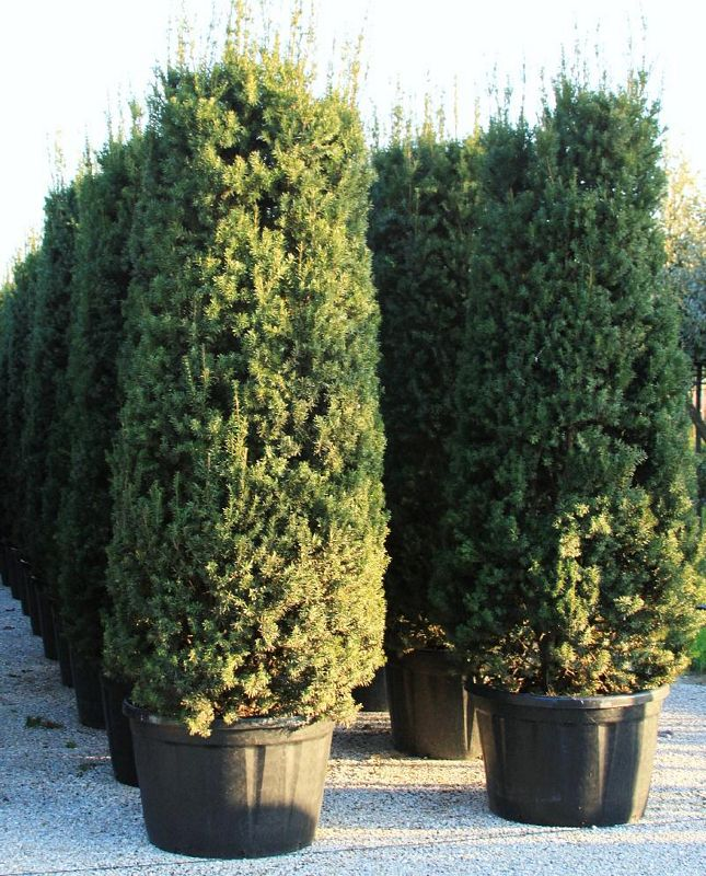 conifers taxus x media hicksii. Black Bedroom Furniture Sets. Home Design Ideas