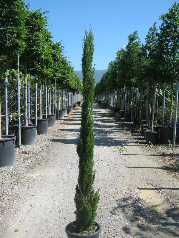 Hedge Plants : Cupressus sempervirens Totem