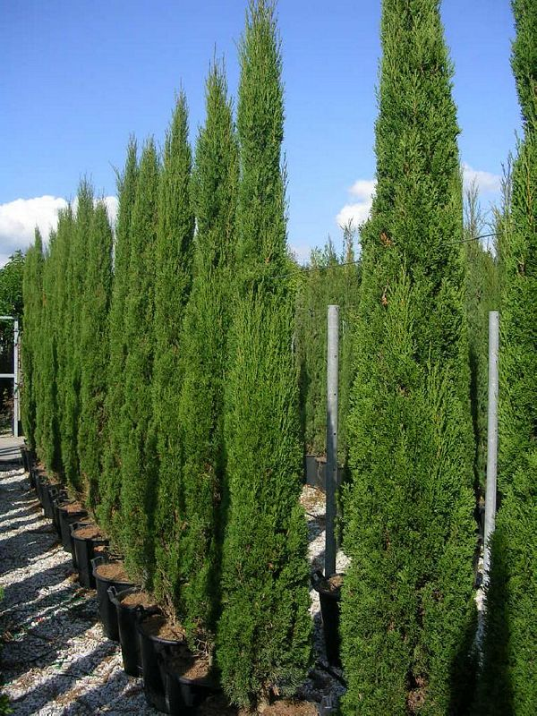 Hedge Plants : Cupressus sempervirens Totem 1,00/1,25 Clt 10