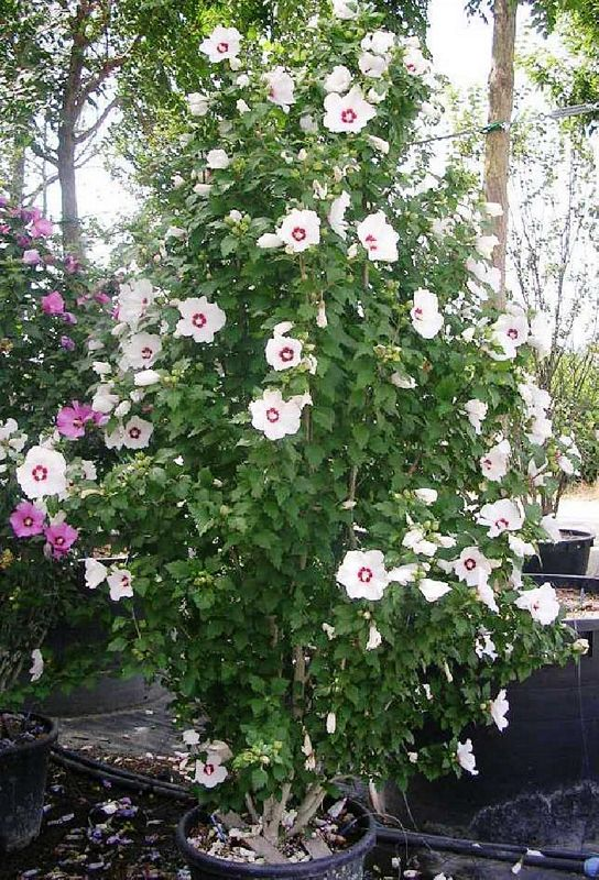 Trees Hibiscus Syriacus Red Heart Shrub 125150 Clt 30
